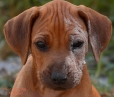 Rhodesian Ridgeback, 2 months, Wheaton